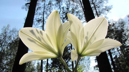 pestel: lilies