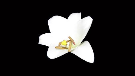 pestel: lily