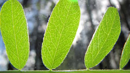 botan: green leaves
