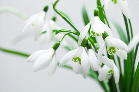 Galanthus nivalis, i fiori di primavera bucaneve su sfondo bianco