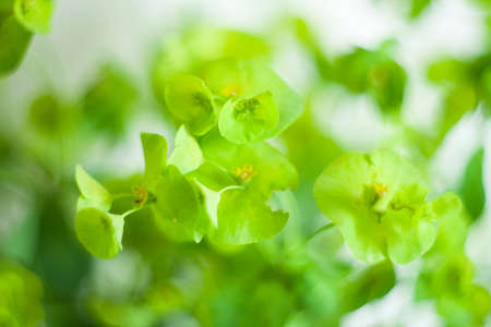 Green flower Euphorbia cyparissias cypress spurge