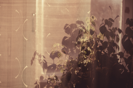 Dark shadow on tulle at window from home plants Imagens