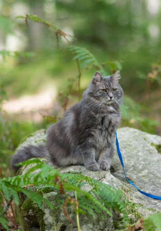 Walking with gray siberian cat with harness in forest park