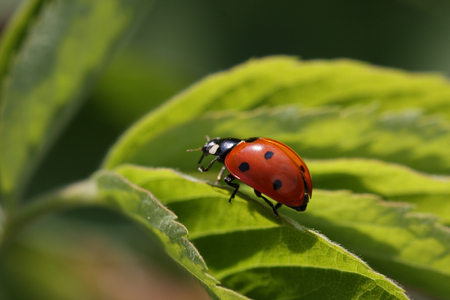 red ladybird is running on the leaf
