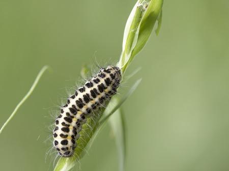 crawling caterpillar on a grass Stock Photo