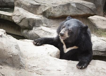 black Bear climb a rock. Stok Fotoğraf - 31905168