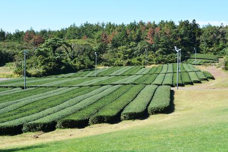 Plant of green tea on the mountain and wild wheel photo