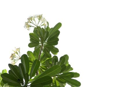 champa flower: frangipani,champa tree in lao and thailand