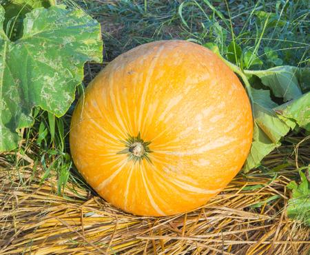 big pumpkin on the ground photo