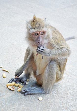 monkey nuts: monkey eating a pea on the road