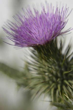 Flowering Thistle Stock Photo