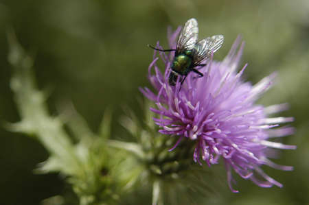 Thistle with Fly