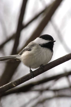 Black Capped Chickadee 2 Stock Photo