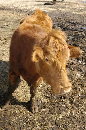 How Now Brown Cow Stock Photo - 7896306