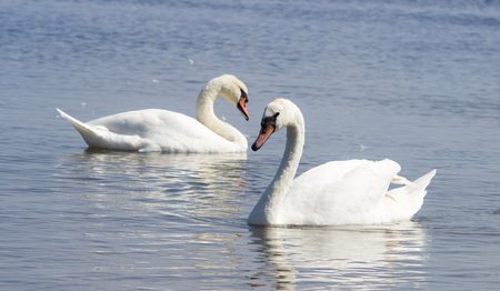 swan on the lake: Swans swimming on the water in nature