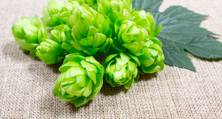flower leaf: Fresh hops on canvas background, close up. Stock Photo