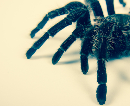 hairy legs: Closeup of danger mexican spider (brachypelma albopilosum) Stock Photo