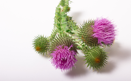 Dietary supplement - fresh thistle with flowers (Silybum marianum, Scotch Thistle, Marian thistle ) isolated on white background.