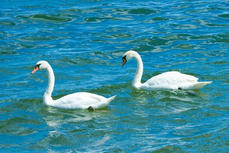 Two white swans swimming in the blue sea.