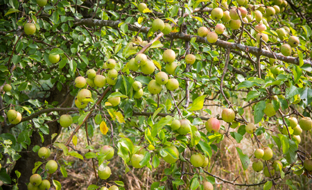 View of apple tree with ripe fruits. Orchard.