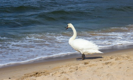 Swans on the sea shore on a sunny day.
