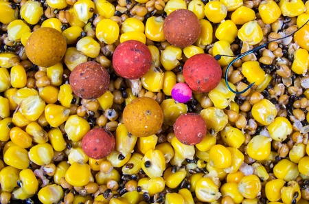 The mixture of grains of corn, wheat and hemp as bait fishing for big carp.