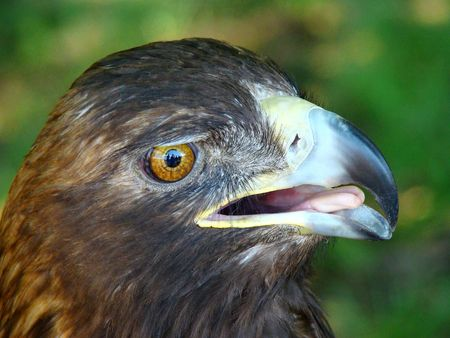 head of the golden eagle on green background Stock Photo - 6338468