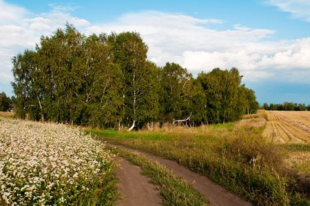 landscape with birch trees, rural roads, flowering buckwheat