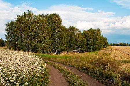 landscape with birch trees, rural roads, flowering buckwheat Stock Photo - 6338547
