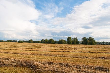 cocked: russian autumn landscape, field with cocked wheat Stock Photo