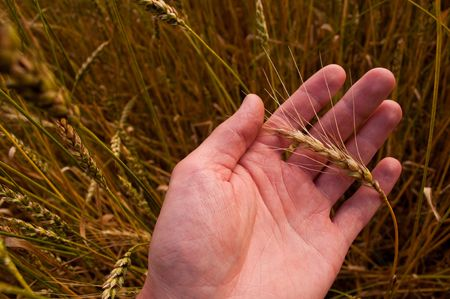 Wheat ear in a mans hand against the field photo