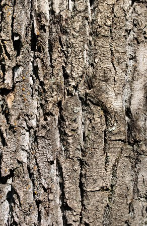 poplar bark cracked, close up