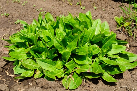young green sorrel leaves in the garden Stock Photo