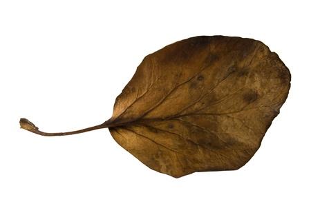 nervation: Bergenia leaf isolated on white background Stock Photo