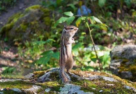 Chipmunk standing on hind legs