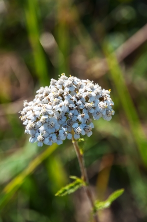 white Achillea Millefolium in meadow