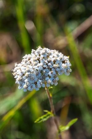 white Achillea Millefolium in meadow