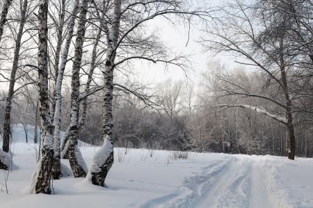 Winter birch forest, cloudy, dark Stock Photo