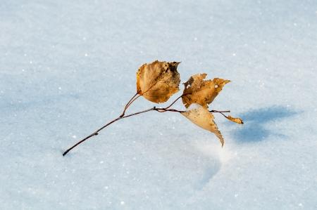 Yellow birch leaf on snow Stock Photo