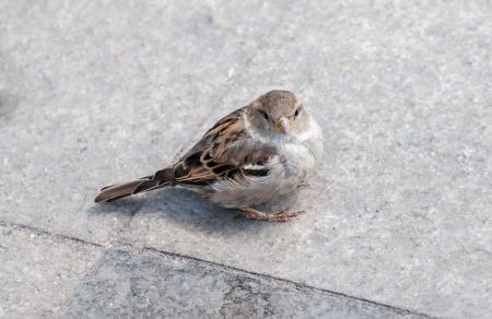 house sparrow - Passer domesticus Stock Photo