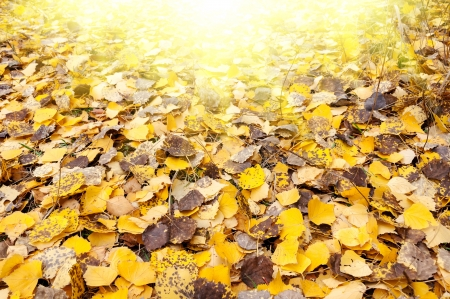 autumn birch leaves in the sunlight. Colorful foliage in the autumn park