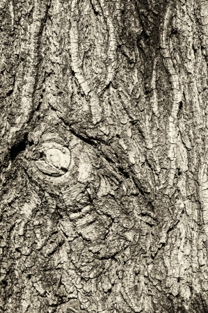 old tree Pine bark texture