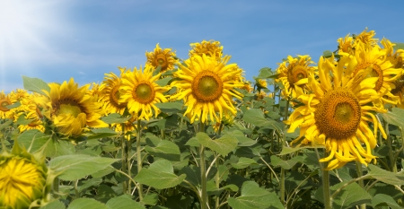 beautiful sunflower with blue sky on the field