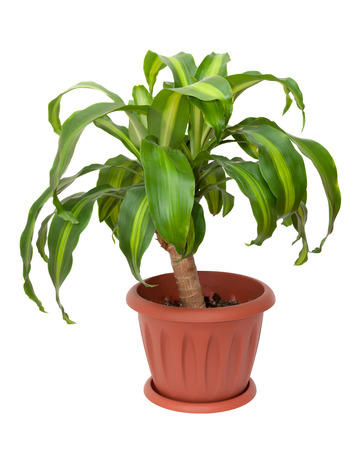 Home plant - Dracaena Massangeana on white background photo
