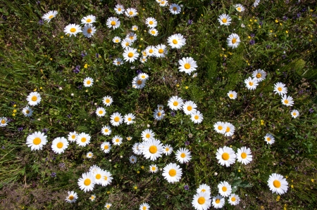 chamomile on field, the top view Stock Photo