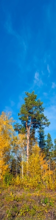 Vertical panorama  Autumn landscape with colorful forest and blue sky background