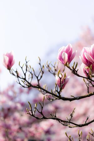 Closeup of a branch of a beautiful magnolia tree with opening and blooming blossoms in spring. Perfect picture for a background and beauty perposes. Banco de Imagens