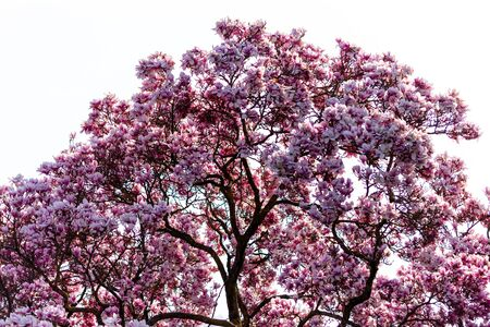 Top of a Magnificent magnolia tree blooming in spring. Perfect for a background picture. Banco de Imagens