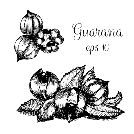 Hand drawn ink illustration of guarana