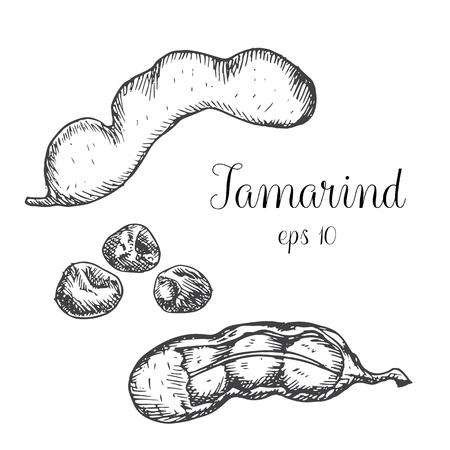 タマリンド。手描きグラフィック イラスト。